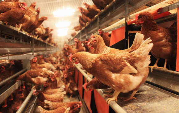 Organic Poultry Farming Reduces Drug Resistance